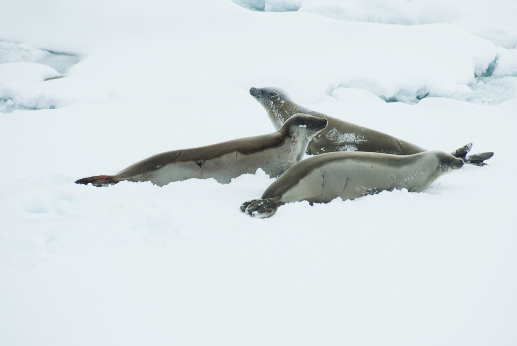 Antarctica-Seal-Sighting-Travel-Lemaire-Channel