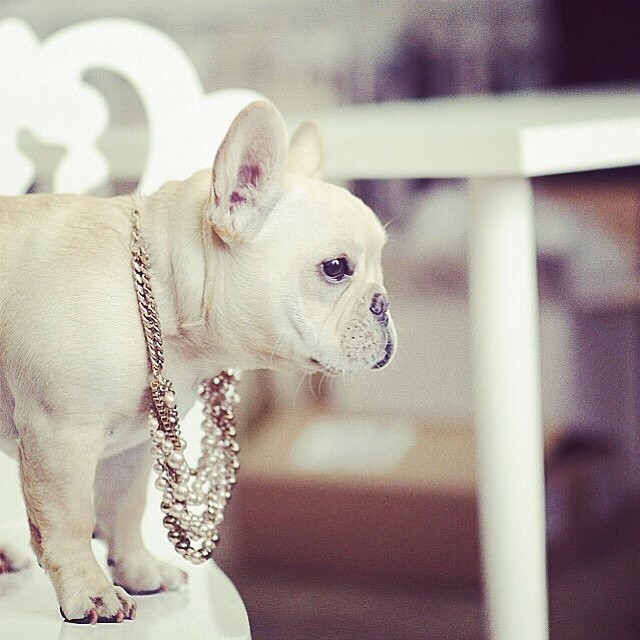 Frenchies-Small-Dog-Wearing-Jewellery