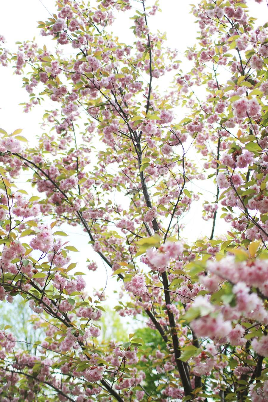 Niagara-On-The-Lake-Trees-In-Bloom