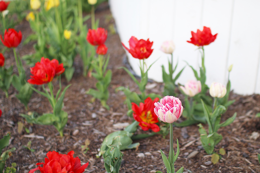 Places-To-See-Tulips-Ontario-Niagara-On-The-Lace
