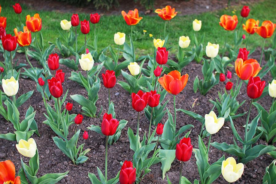 Red-Orange-Yellow-Tulips