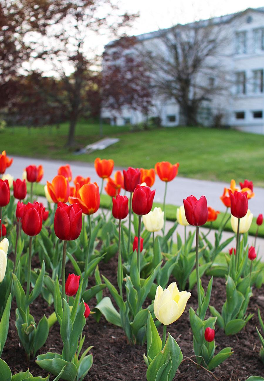 Tulips-In-Niagara-On-The-Lake-Ontario-Canada-Travel