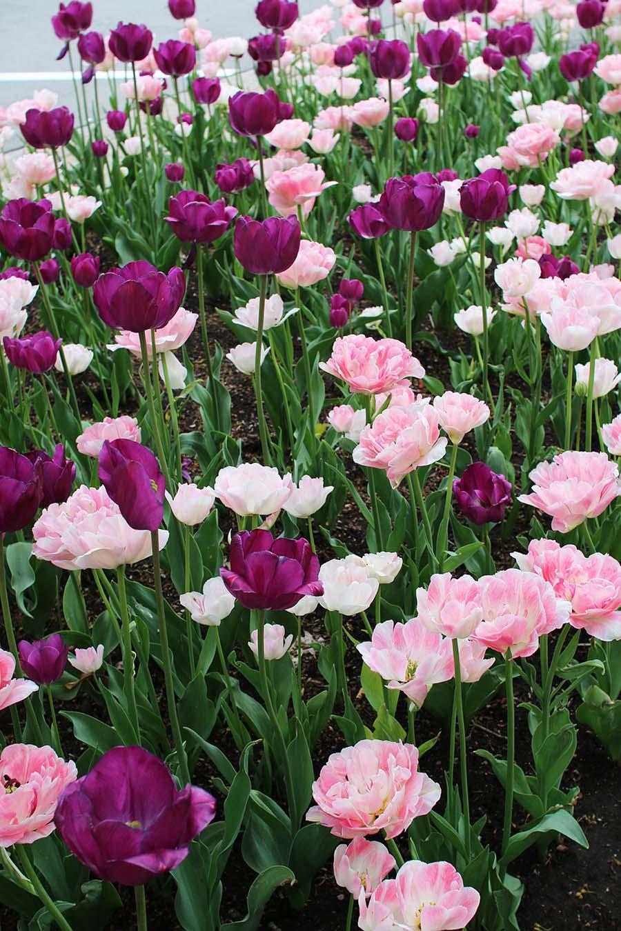flowers-pink-an-purple-tulips