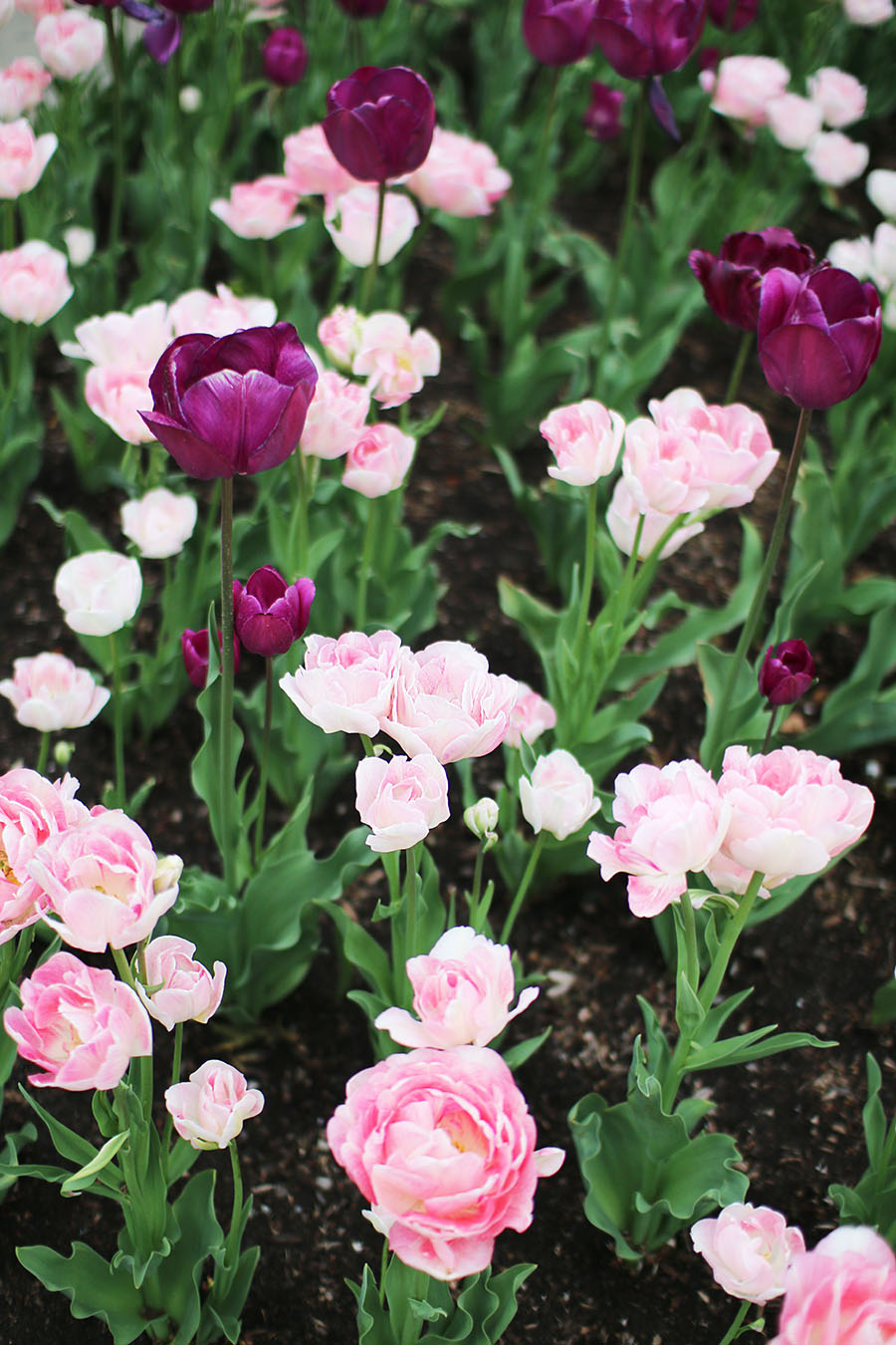 pink-and-purple-tulips-spring-summer-flowers